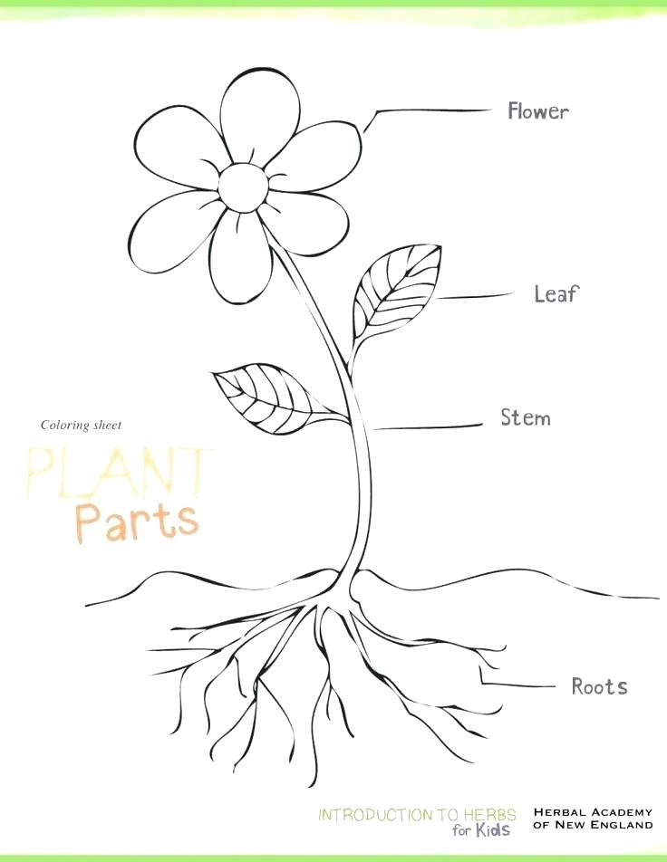 736x952 Oak Tree Coloring Page Coloring Pages Trees Plants And Flowers