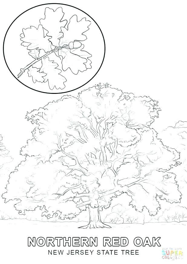 618x872 Oak Tree Coloring Page Little Leaf Of Oak Trees Leaves Oaks
