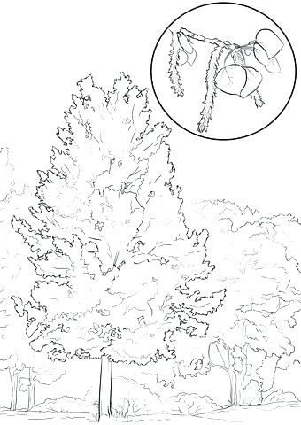 340x480 Oak Tree Coloring Page Tree Coloring Pages In Addition Click