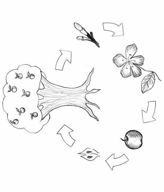 550x645 Apple Tree Life Cycle Coloring Page Crafts Cycling