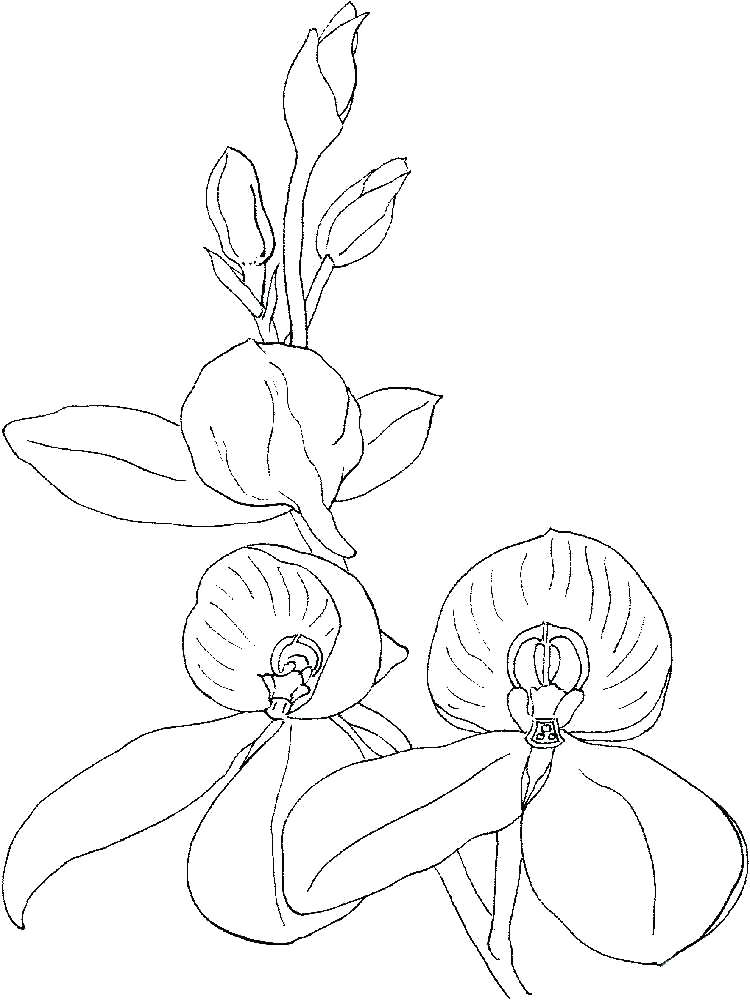 Orchid Flower Coloring Pages
