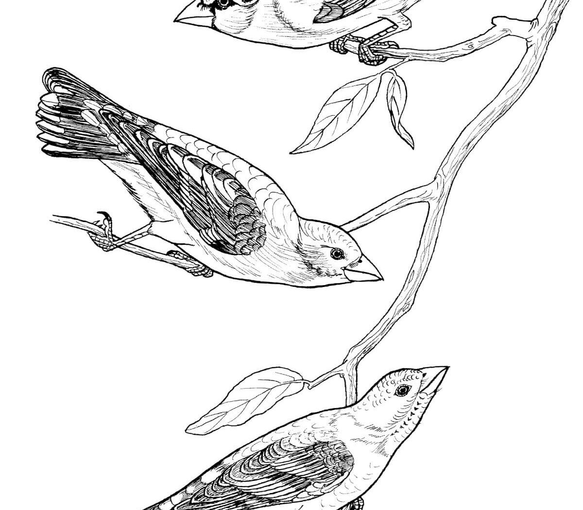 1200x1050 Osprey Bird Coloring Page Free Printable Weaver And Other Species