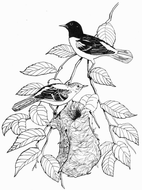 580x776 Why Is Oriole Coloring Pages So Timrosa Blog