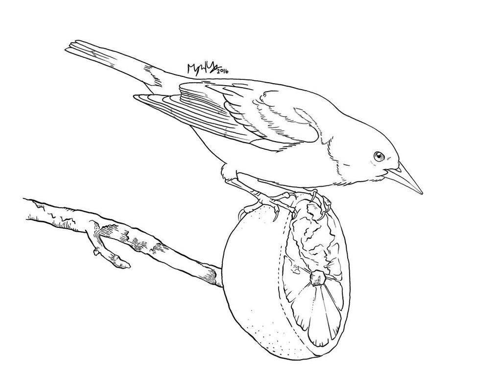1017x786 Baltimore Oriole Coloring Page
