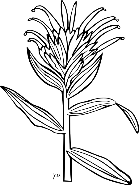 450x599 Giant Red Indian Paintbrush Coloring Page Clip Art