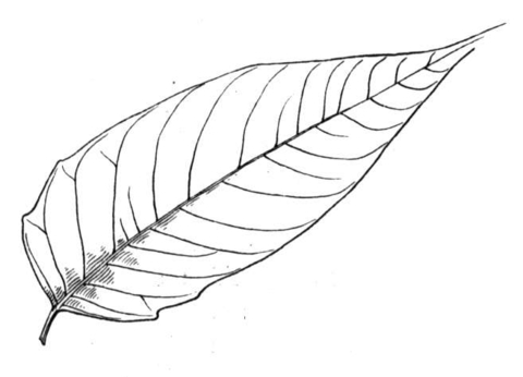 480x346 Palm Leaves Coloring Pages
