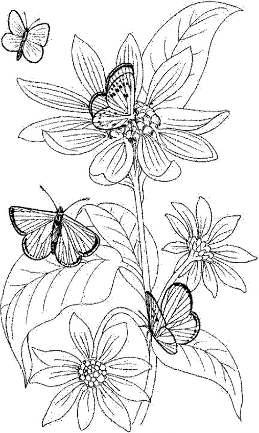 Pansy Coloring Page