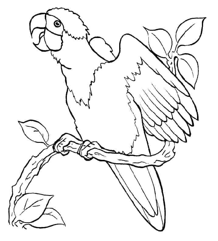 717x793 Coloring Pages Of Parrots With Big Eyes Parrot Printable Free