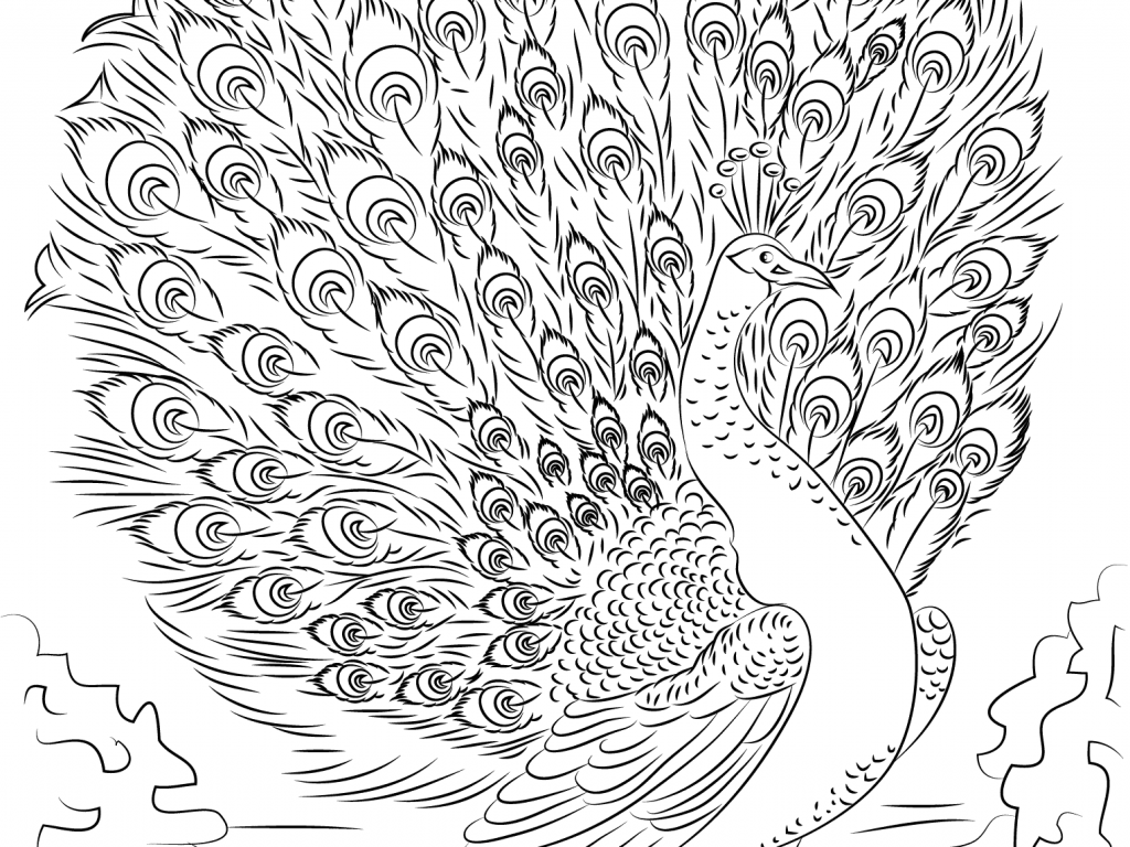 1024x768 Announcing Advanced Peacock Coloring Pages Adu