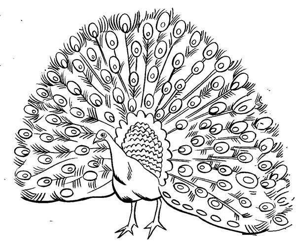 600x504 Realistic Peacock Coloring Page Realistic Image Of Male