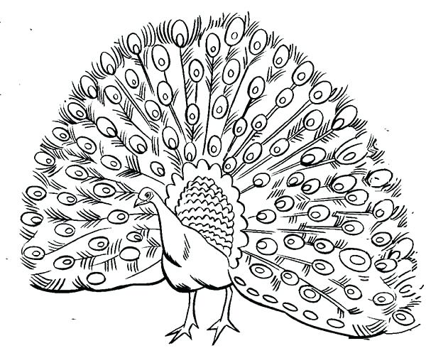600x504 Peacock Coloring Pages Peacock Feather Coloring Page Peacock