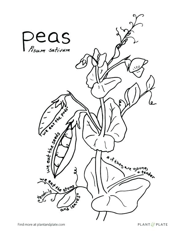 600x776 Gardening With Kids Reasons To Grow Snap Peas Peas Pisum Sativum