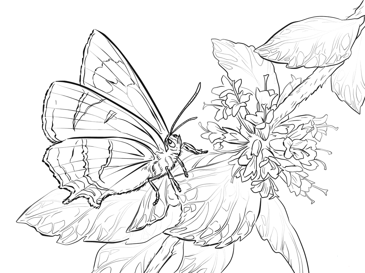 Pictures Of Butterflies Coloring Pages