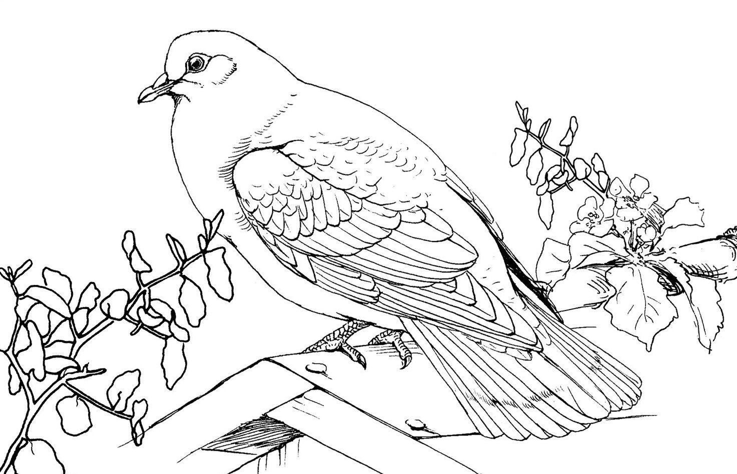1473x948 Free Printable Pigeon Coloring Pages For Kids Free Printable