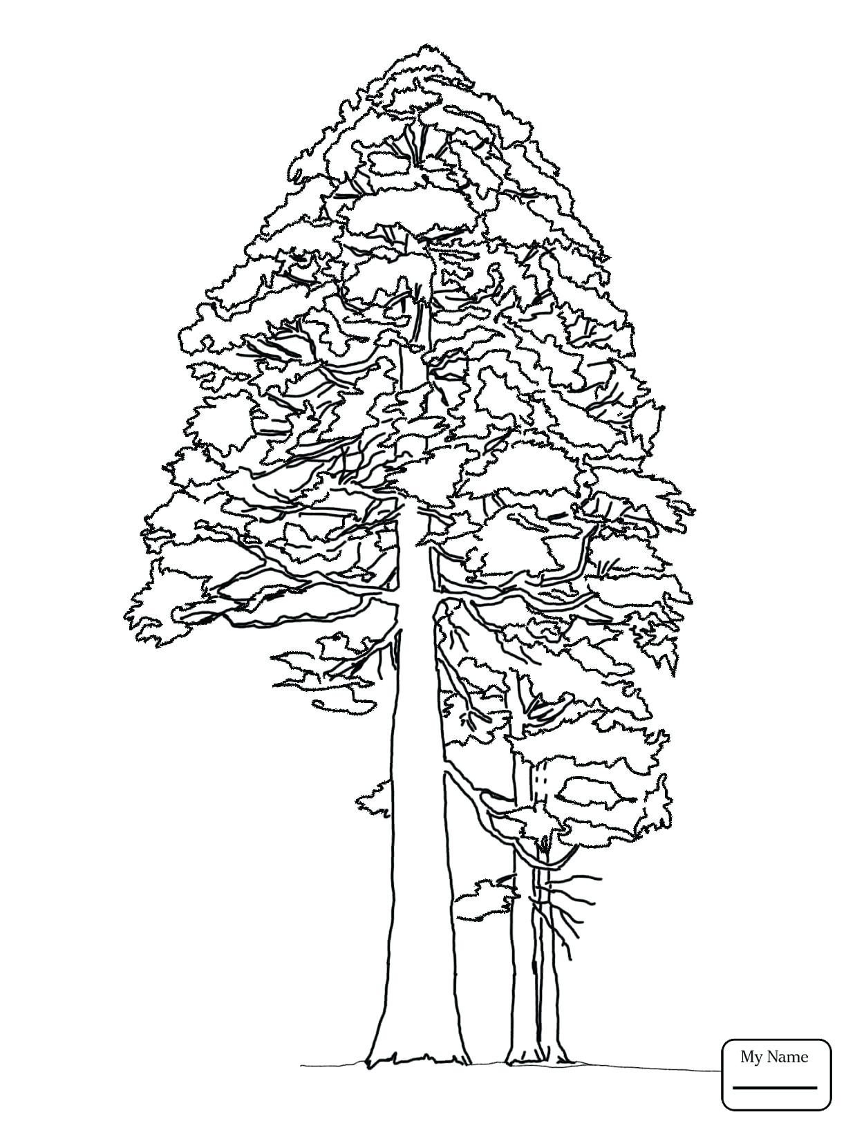 1224x1632 Happy White Pine Tree Coloring Page Drawings Of Trees Pages