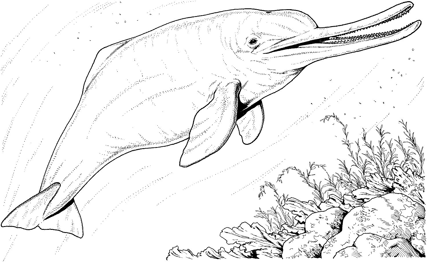 1484x912 River Dolphin Coloring Pages River Coloring Pages Printable Hamish