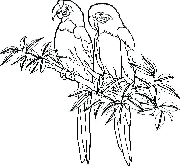 590x546 Parrot Coloring Sheet Parrot Coloring Pages Parrot Coloring Pages