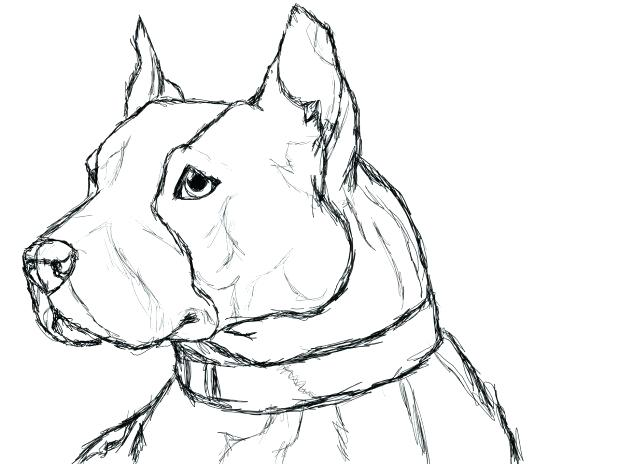 618x464 Pitbull Face Coloring Pages Awesome Realistic Pin Drawn Bull Page