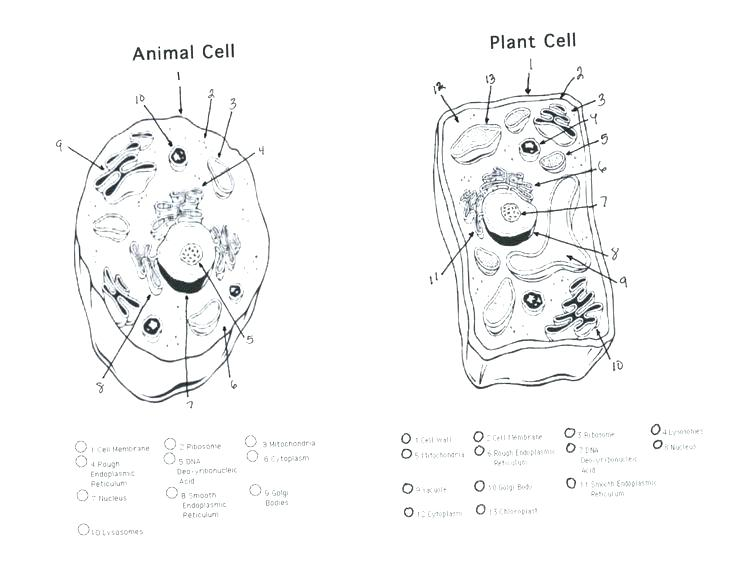 736x568 Plant Cell Coloring Page Labeled Sheet Key Animal Color And Cells