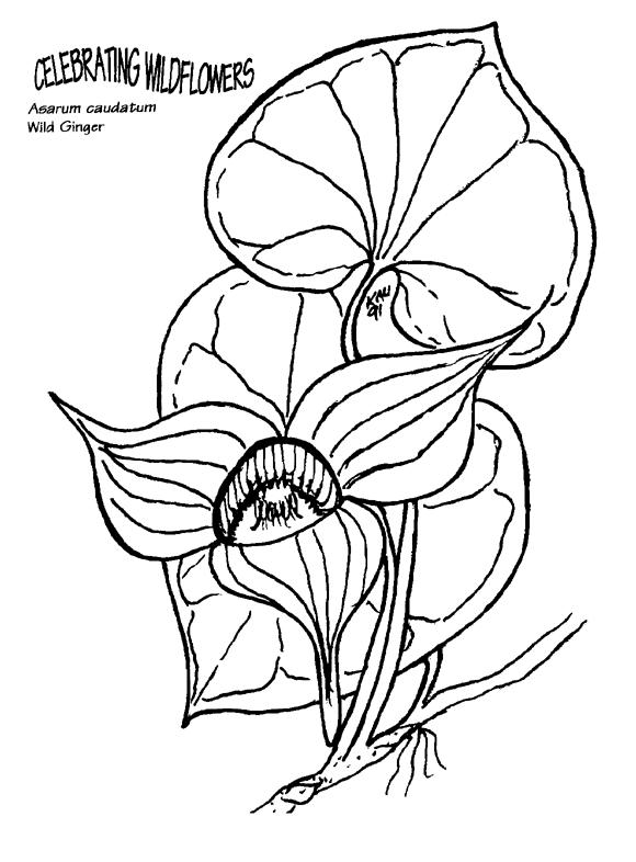 580x786 Asarum Caudatum Coloring Page