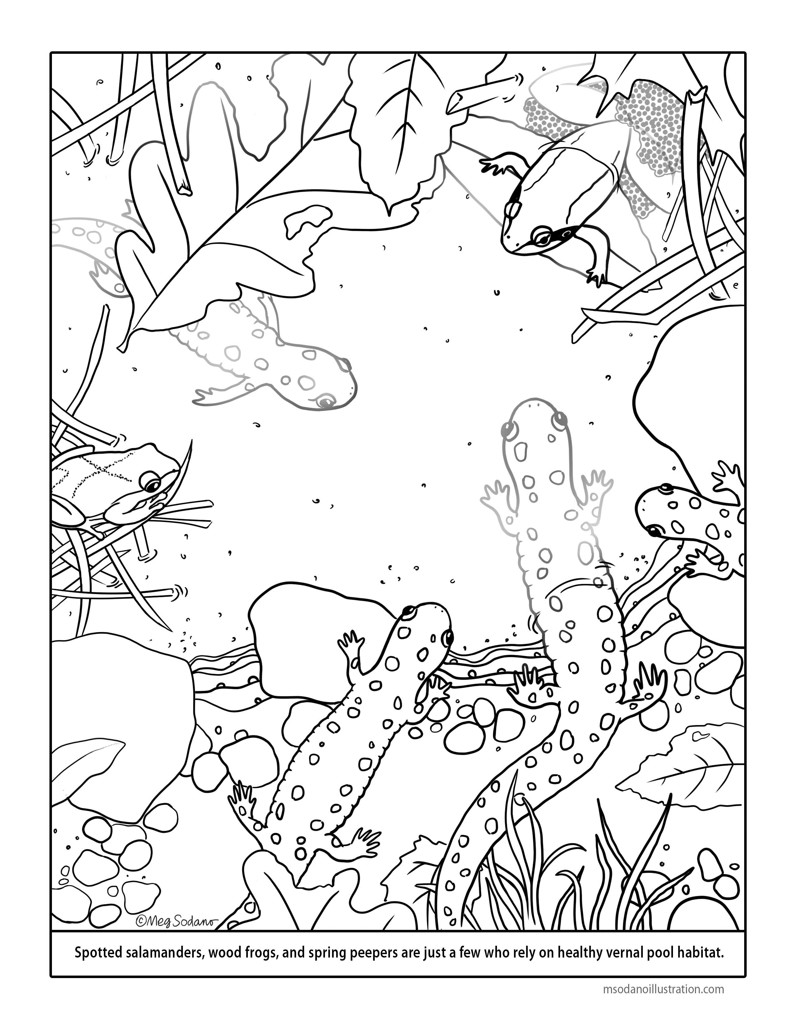 2550x3297 Vernal Pool Coloring Page Meg Sodano Illustration Design