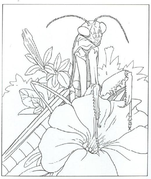 520x614 Praying Mantis Coloring Page