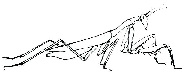 620x264 Praying Mantis Coloring Page How To Draw A Praying Mantis Picture