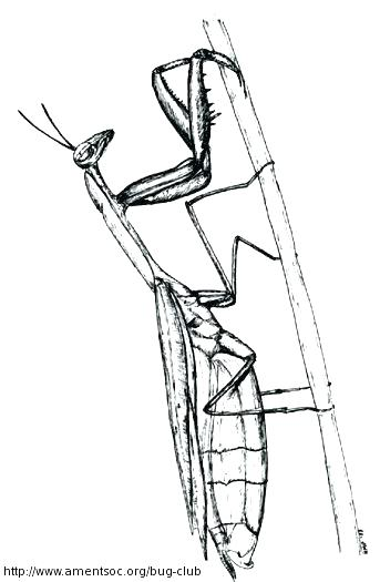 343x525 Praying Mantis Coloring Page Praying Mantis Colouring Page