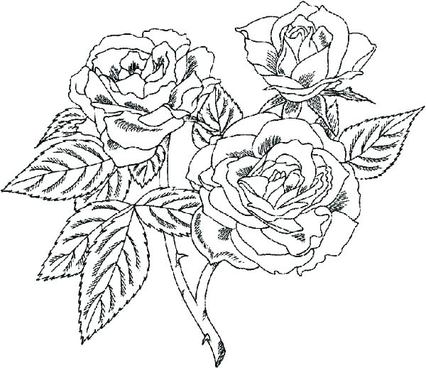 600x518 Rose Color Pages Coloring Page Rose Rose Coloring Pages Beautiful