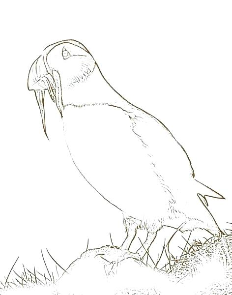 472x600 Puffin Coloring Page Puffin Coloring Page Puffin Coloring Page
