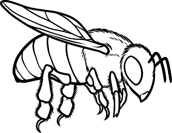 600x464 European Honey Bee Coloring Trend Honey Bee Coloring Pages