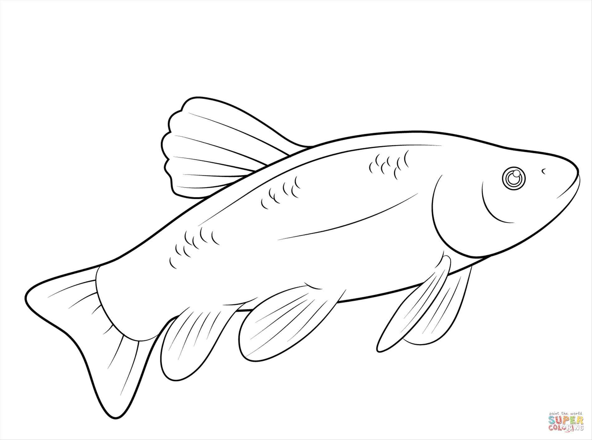 1899x1412 New Fresh Rainbow Trout Coloring Pages Free Coloring Book
