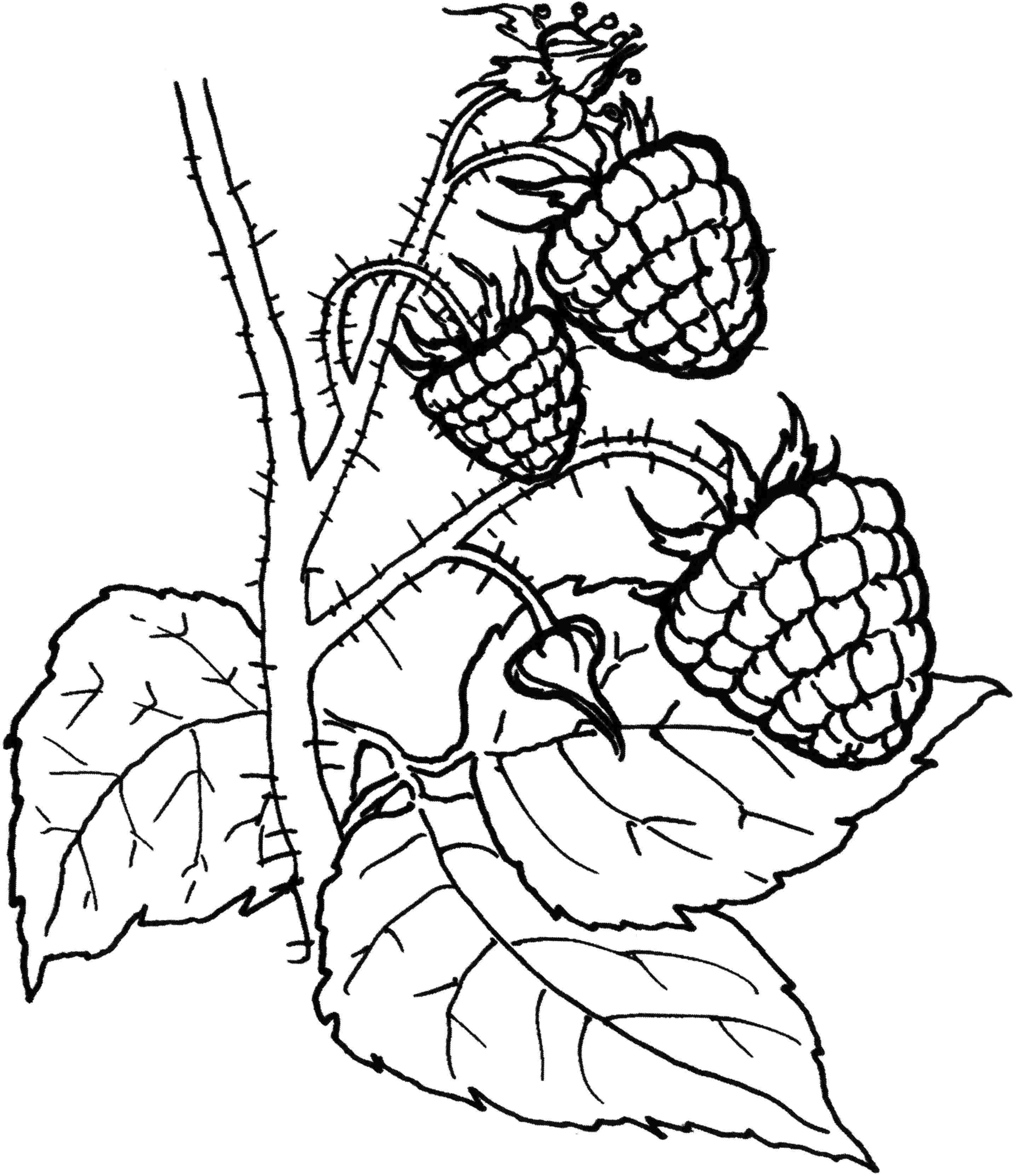2872x3324 Magic Blackberry Coloring Page Fresh Raspberries Pages Design