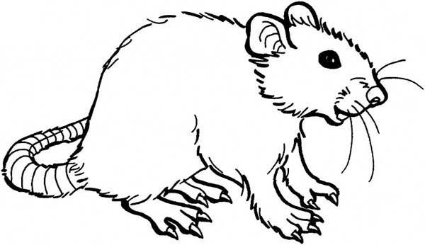 600x346 Rat Coloring Pages