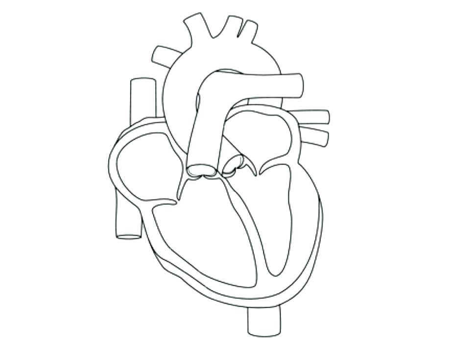 921x690 Human Heart Coloring Page Heart Anatomy Coloring Pages Human Heart