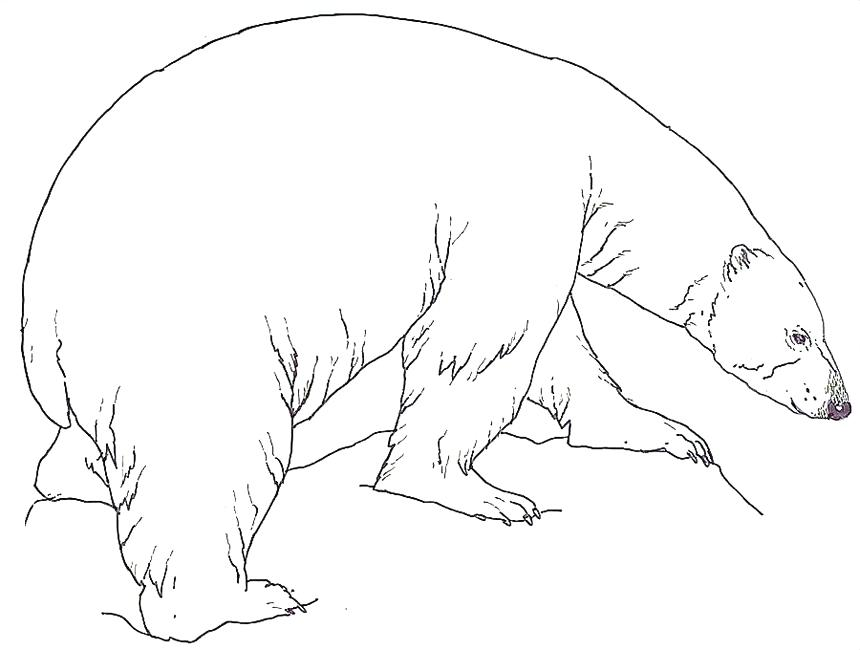 860x650 Polar Bear Coloring Pages Polar Bear Color Page Realistic Polar