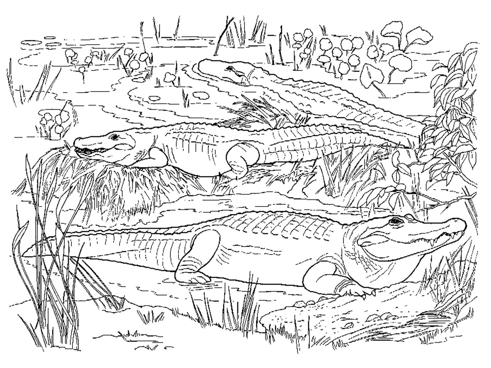 1600x1200 Realistic Coloring Pages For Adults Realistic Alligator Coloring