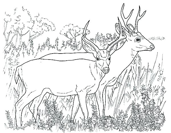 600x467 Deer Coloring Pages John Printable Deer Coloring Pages For Adults