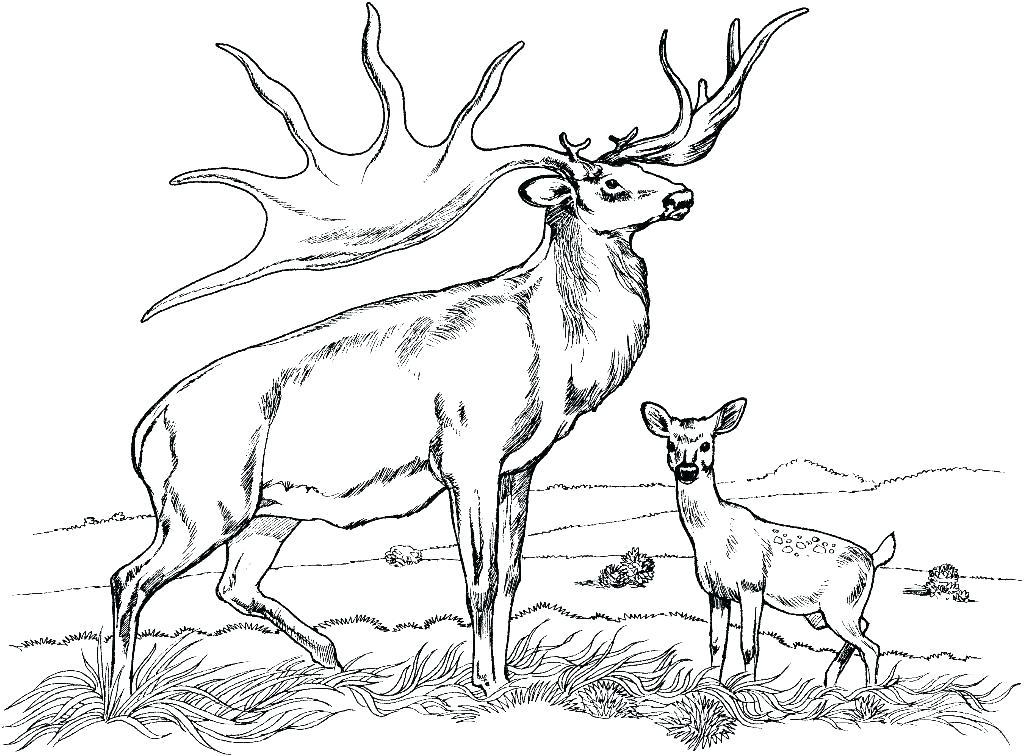 1024x756 Whitetail Deer Coloring Pages Deer Coloring Page Realistic