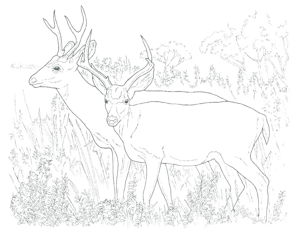 986x768 Whitetail Deer Coloring Pages Deer Coloring Picture The Incredible