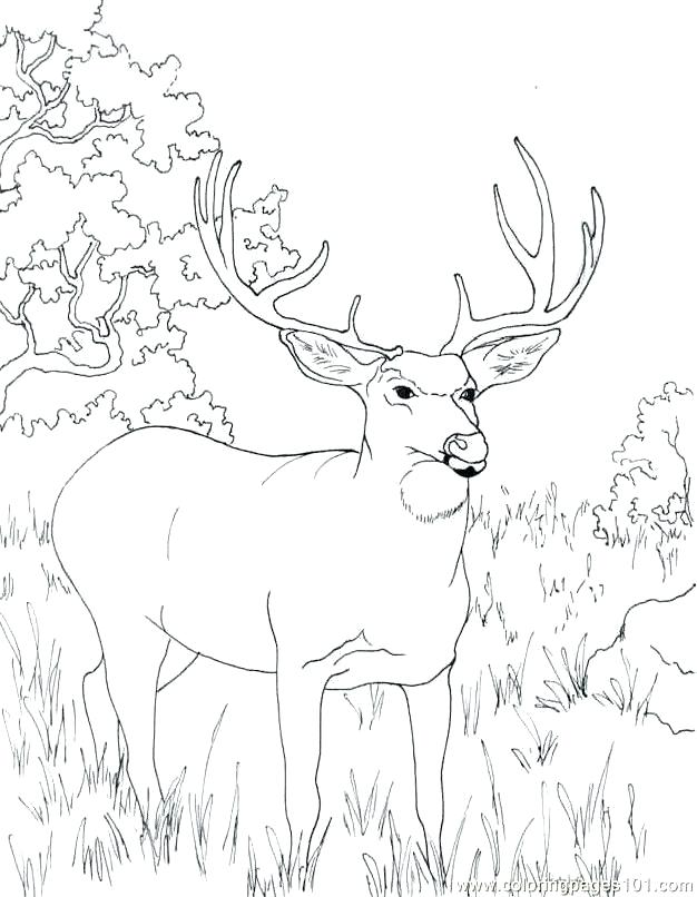 626x806 Whitetail Deer Coloring Pages Whitetail Deer Coloring Pages White