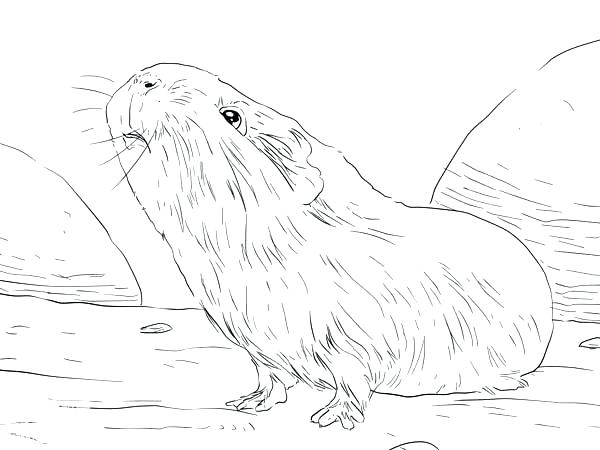 600x450 Cool Guinea Pig Coloring Pages Cool Guinea Pig Coloring Pages