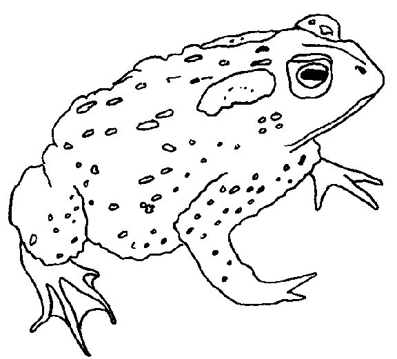 576x521 Frog Coloring Pages To Print