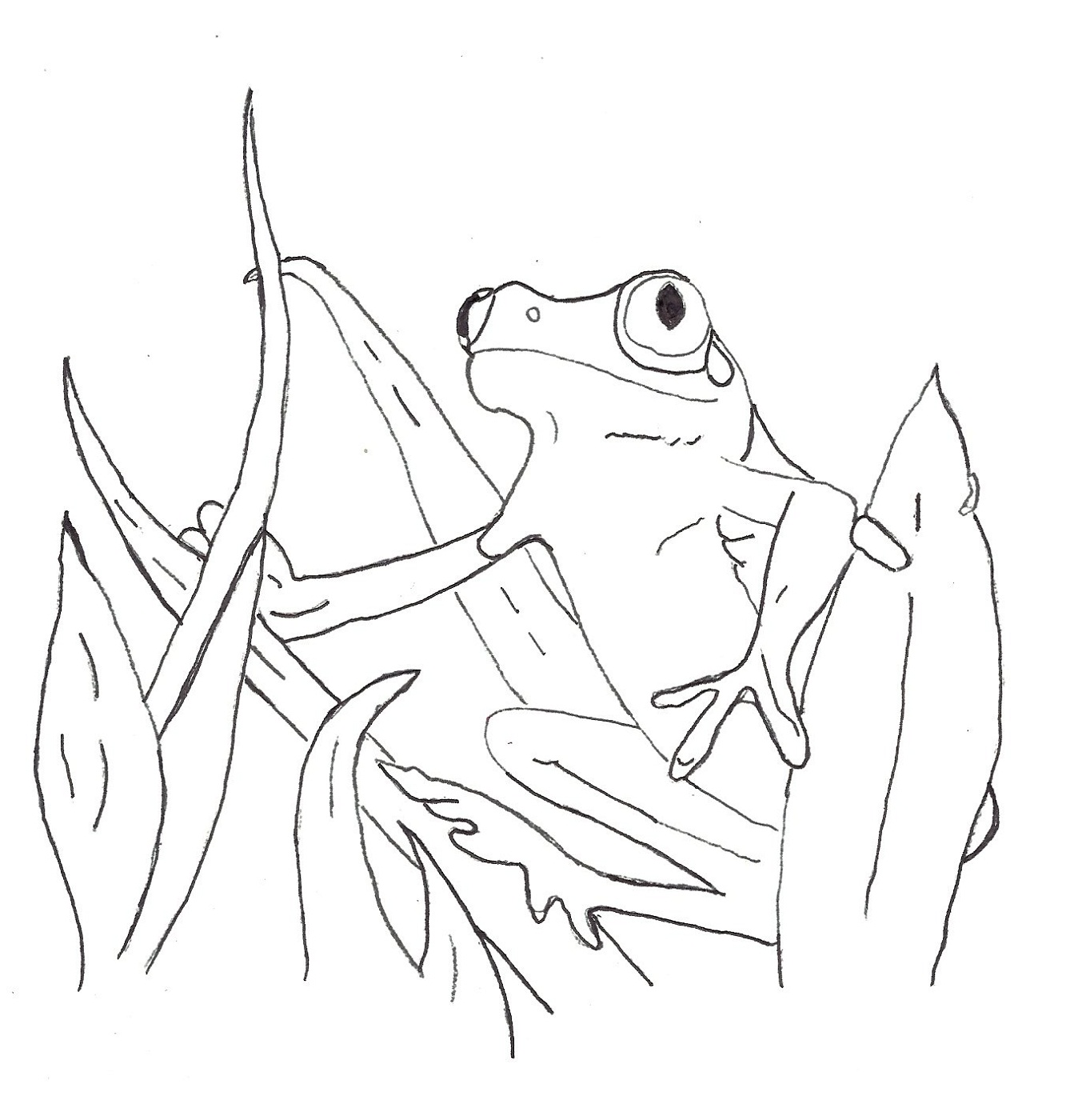 1348x1400 Realistic Frog Coloring Pages
