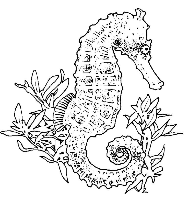 736x768 Realistic Seahorse Coloring Page Seahorse