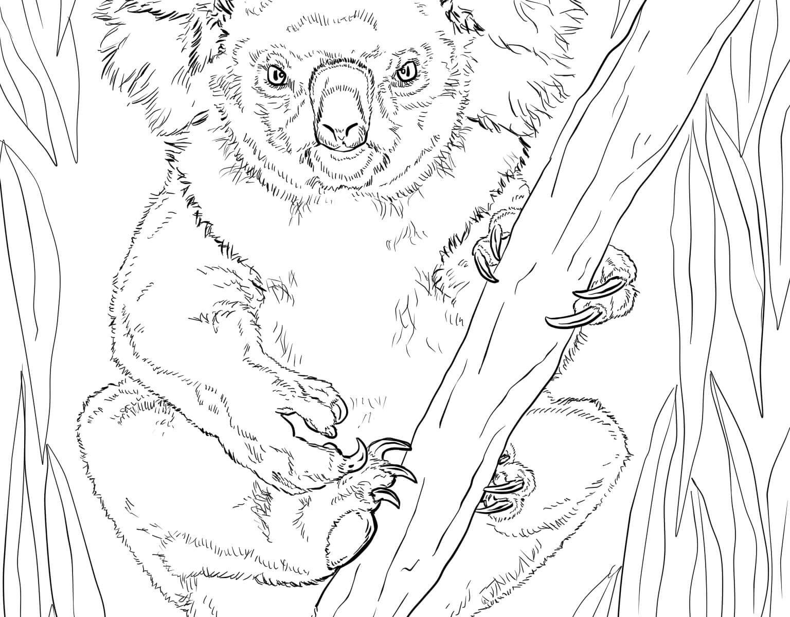 1536x1200 Coloring For Kids Koalas Rare Realistic Bear Free Printable