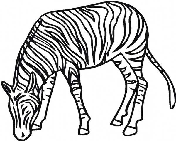 600x480 Zebra Eating Grass Coloring Page Zebra Eating Grass Coloring Page