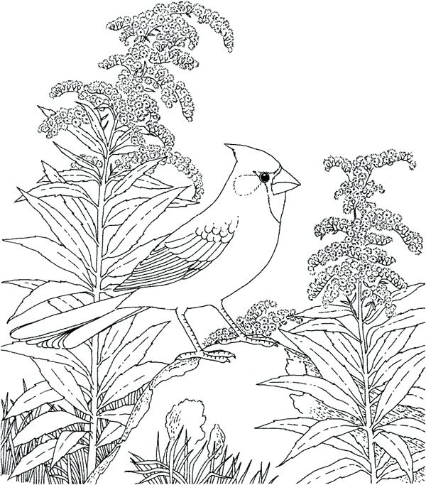 600x683 Cardinal Coloring Pages Goldfinch Cardinal Bird Stand On Dead Tree