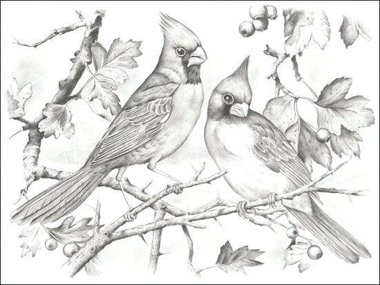 550x412 Cardinal Bird Coloring Page Cardinal Bird Coloring Page Cardinal