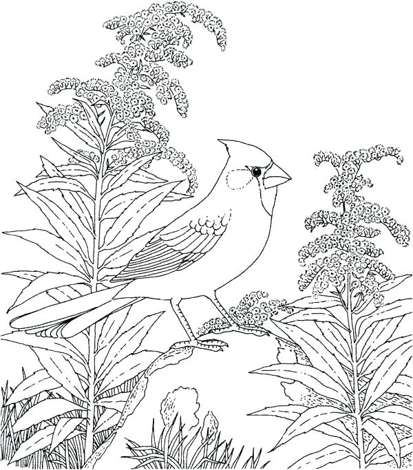 600x683 Robin Coloring Page Robin Bird Coloring Pages State Bird Coloring
